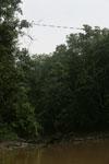Orangutan bridge -- sabah_3172