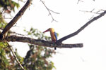 Stork-billed Kingfisher in Borneo -- sabah_3173