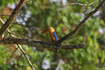 Stork-billed Kingfisher (Pelargopsis capensis) -- sabah_3175
