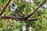 Stork-billed Kingfisher (Pelargopsis capensis) -- sabah_3177
