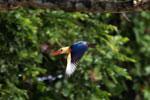 Stork-billed Kingfisher -- sabah_3180