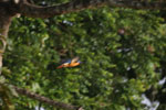 Stork-billed Kingfisher in Borneo -- sabah_3181
