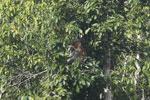 Proboscis monkey -- sabah_3193