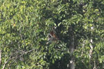 Proboscis monkey -- sabah_3194