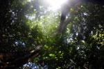 Borneo rainforest canopy -- sabah_3208