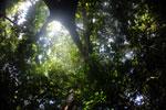 Borneo rainforest canopy -- sabah_3209
