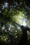 Borneo rainforest canopy -- sabah_3210