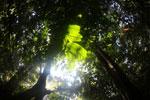Borneo rainforest canopy -- sabah_3211