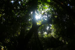 Borneo rainforest canopy -- sabah_3212
