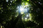 Borneo rainforest canopy -- sabah_3213