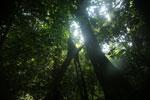 Borneo rainforest canopy -- sabah_3214
