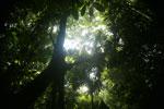Borneo rainforest canopy -- sabah_3215