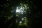 Borneo rainforest canopy -- sabah_3217