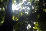 Borneo rainforest canopy -- sabah_3218