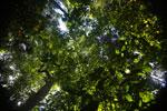 Borneo rainforest canopy -- sabah_3219