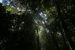 Borneo rainforest canopy -- sabah_3222