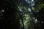 Borneo rainforest canopy -- sabah_3223