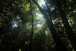 Borneo rainforest canopy -- sabah_3226