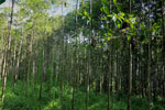 Reforestation project using native species in Borneo -- sabah_3234