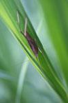 Brown grasshopper -- sabah_3255
