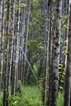 Reforestation project using native species in Borneo -- sabah_3272
