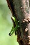 Grasshoppers -- sabah_3293