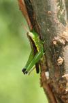 Grasshoppers -- sabah_3294