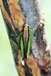 Grasshoppers -- sabah_3296