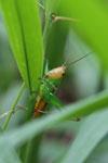 Grasshoppers -- sabah_3298