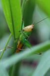 Grasshoppers -- sabah_3299
