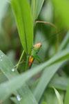 Grasshoppers -- sabah_3300