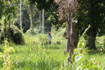 Clearing grass to restore a peat swamp