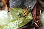 Grasshoppers -- sabah_3313