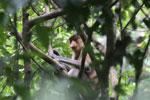 Proboscis monkey -- sabah_3321