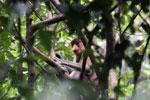 Proboscis monkey -- sabah_3322