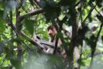Proboscis monkey -- sabah_3323