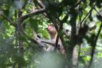 Proboscis monkey -- sabah_3326