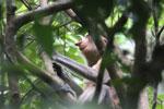 Proboscis monkey -- sabah_3327