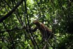Proboscis monkey -- sabah_3329
