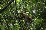 Proboscis monkey -- sabah_3330