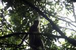 Proboscis monkey -- sabah_3332
