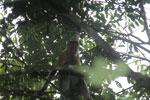 Proboscis monkey -- sabah_3333
