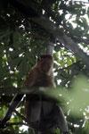 Proboscis monkey -- sabah_3334