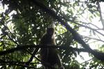 Proboscis monkey -- sabah_3335