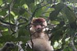 Proboscis monkey -- sabah_3337