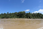 Logs being floated down the Kinabatangan River -- sabah_3349