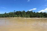 Logs being floated down the Kinabatangan River
