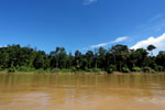 Rainforest along the Kinabatangan river