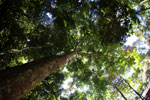 Rainforest dipterocarp