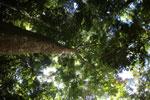 Rainforest dipterocarp -- sabah_3381